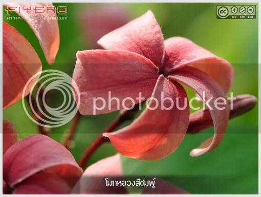 โมกหลวงสีชมพู, โมกหลวงชมพู, Holarrhena pubescens, ไม้หายาก,  ดอกไม้สีชมพู, โมกใหญ่, ไม้ดอกหอม, ไม้ยืนต้น, ไม้ไทย, ต้นไม้, ดอกไม้,  aKitia.Com