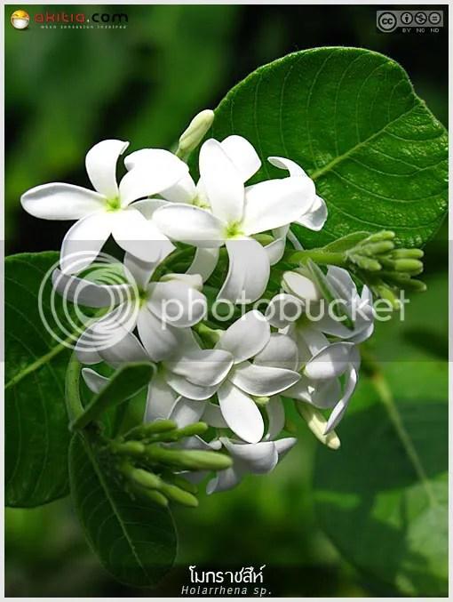 โมกราชสีห์, Holarrhena, พุดทุ่ง, ไม่พุ่ม, ไม้ดอกหอม, ต้นไม้,  ดอกไม้, aKitia.Com