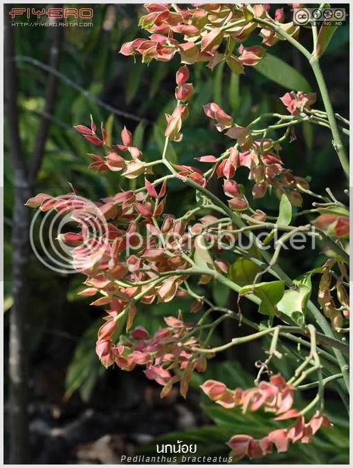 นกน้อย, แสยกนกน้อย, เลิฟเบิร์ด, แสยกออสเตรเลีย, Pedilanthus  bracteatus, ไม้หายาก, Slipper Plant, Slipper Spurge, Candelilla,  ไม้ทนแล้ง, ต้นไม้, ดอกไม้, aKitia.Com