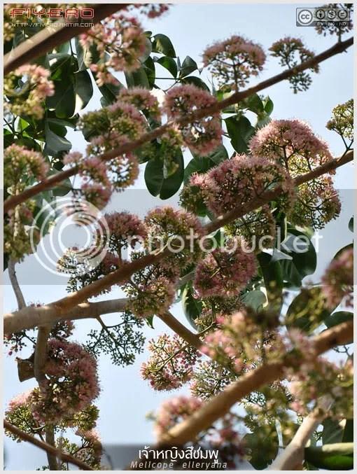 ต้นเจ้าหญิงสีชมพู, ดอกเจ้าหญิงสีชมพู, พิงค์ปริ้นเซส, Melicope elleryana, ต้นเจ้าสาวสีชมพู, ไม้ยืนต้น, ไม้ดอก, ดอกสีชมพู, Pink Flowered Doughwood, Cork Wood, Euodia elleryana, ต้นไม้, ดอกไม้, aKitia.Com
