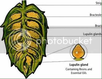 hop cone