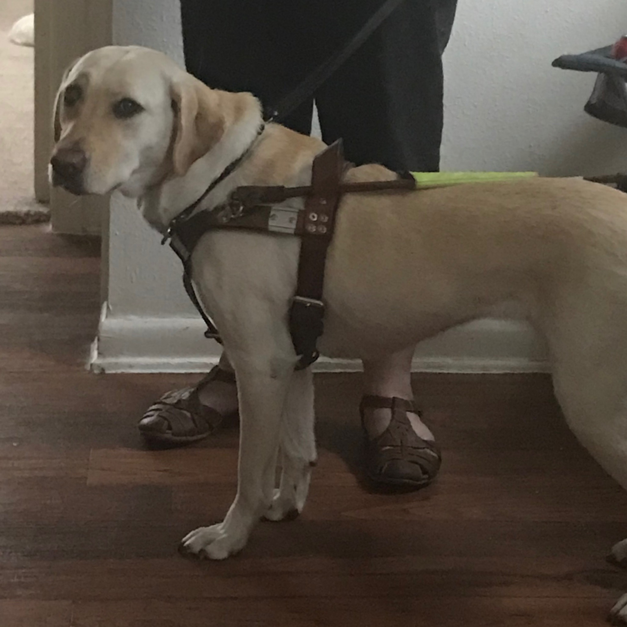 A Guide dog in Harness
