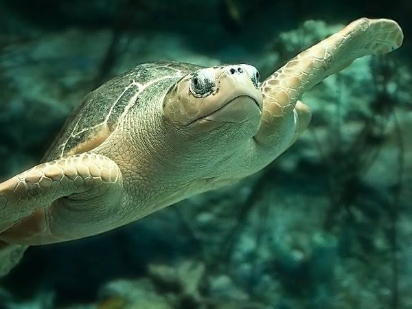 In A First: Indian Coast Guard Employed To Safeguard A Rare Species of Turtle