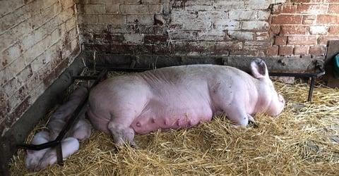 Fat pig image