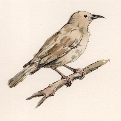 juvenile-starling