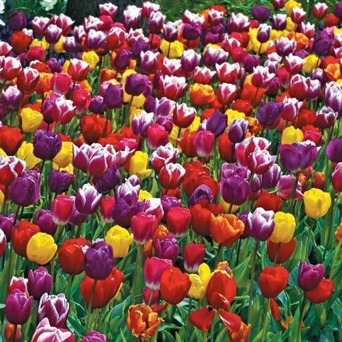 Tulips multi field
