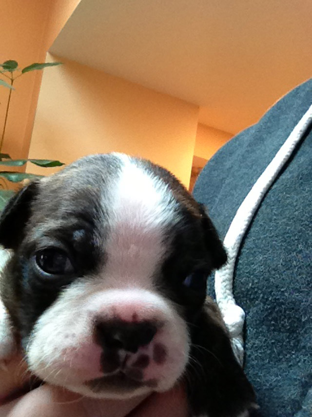 boston terrier puppies_04