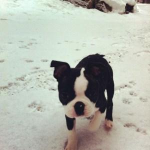 kemper_Boston Terrier in snow