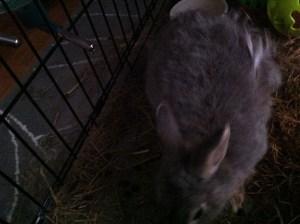 shedding Bunny