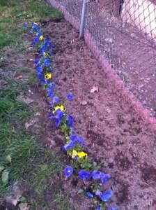 planted pansies