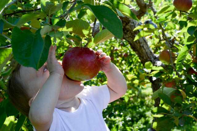 Applecrest Farm Apple Picking-14