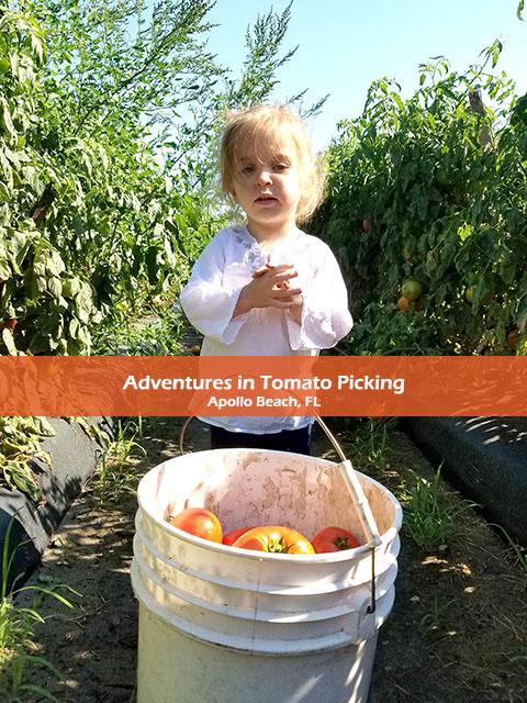 Tomato Picking_Apollo Beach_FL