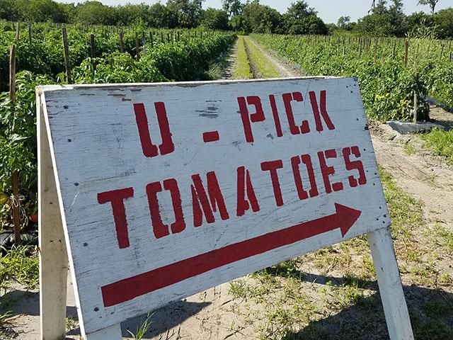 Tomato Picking_Apollo Beach_FL_01