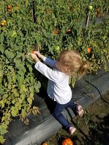 Tomato Picking_Apollo Beach_FL_02