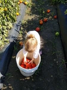 Tomato Picking_Apollo Beach_FL_03