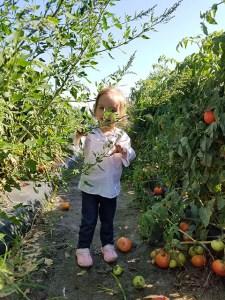 Tomato Picking_Apollo Beach_FL_08