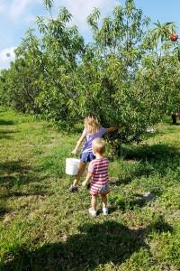 Children picking peaches of trees at farm