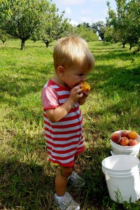 Baby boy eating a peach in the middle of two rows of peach trees at farm