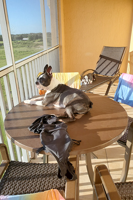 Boston Terrier sitting on a table sunning himself