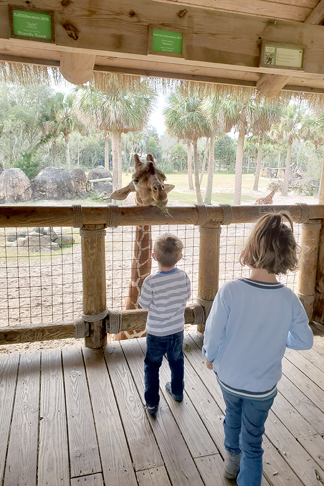Little Girl and boy feeding Giraffe at Jacksonville Zoo