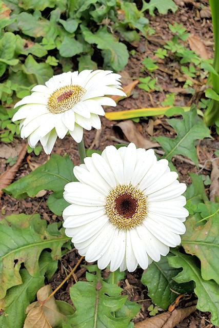 flowering white daisy