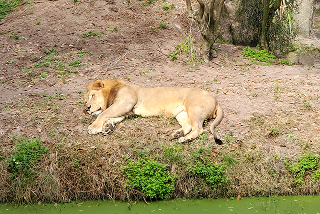 lion lounging on the lawn in front of a pond at zoo