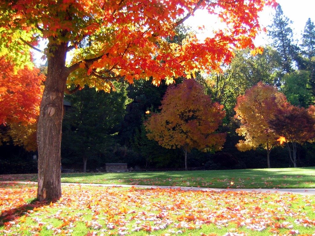 Fall Maples Background Photo