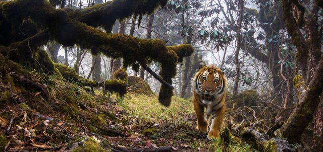 First high-res photo of a wild tiger captured at 11,633ft high