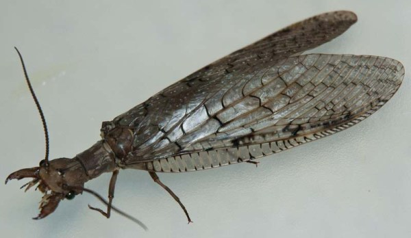 New Mexico Bugs: Dobsonfly