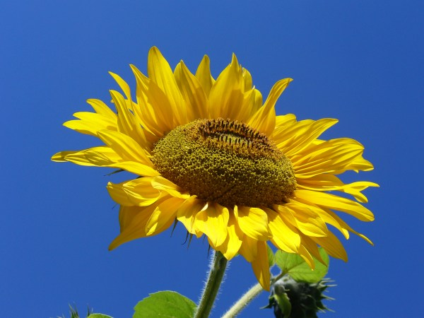 Sunflower - wikipedia