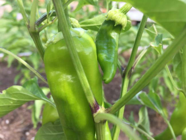 Hatch Green Chile / Photo ©2018 I am New Mexico