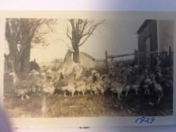 1929 Gloie's Chickens