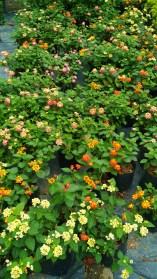 Natural Beauty Garden - healthy Lantan
