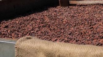 Secado artesanal del cacao.