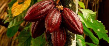 Fruto del cacao.