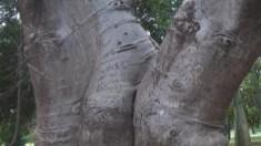 Legendario tronco de Baobab, donado al jardín en 1983.