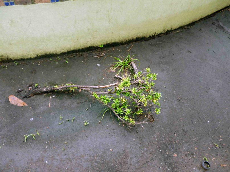 Plantas destruidas en la plaza José Fëlix Ribas, Barinas