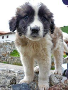 Perro Nevado, de la raza mucuchíes, como este cachorro. Foto Mascotarios.