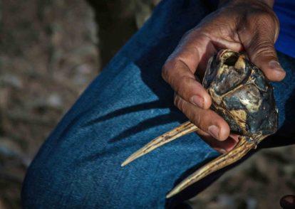 Cacho pequeño, instrumento musical empleado en el baile de las tras, elaborado con el cráneo de venado al que le dejan el orificio occipital, les tapan los de los ojos y nariz con cera de abejas. Foto Francisco Coli