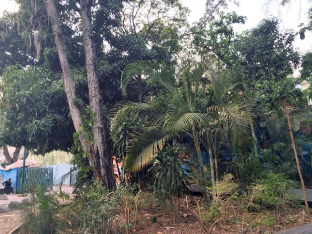 Las raíces y arbustos comienzan a acusar el abandono del bosque urbano de La Florida, Caracas. Foto Armando Báez, abril 2019.