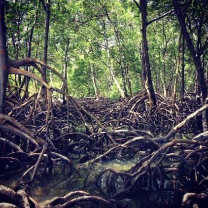 mangroves on steriods