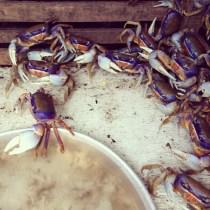 purple crabs popping corns