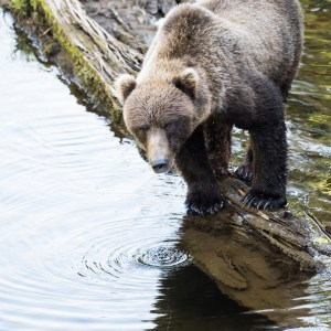 Bear, Coastal Brown Bear, Print, Sale, Hoonah