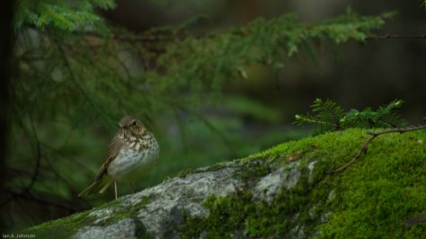 Swainson's thrush during a migratory fallout at Baxter State Park