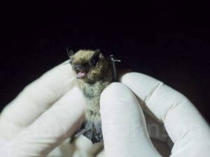 Small-footed Bat