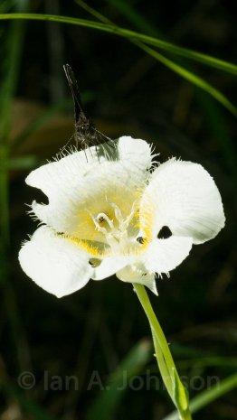 Three spot mariposa lily - Sandpoint, ID