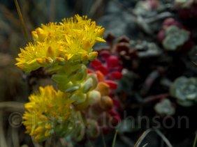 Cedum (uknown species), Redwoods National Park