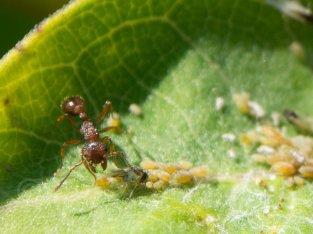 Ant Tending his field - Butler, Minnesota