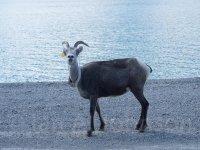 Bighorn Ewe - GPS Collared