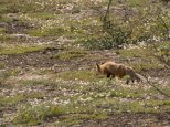 Red fox - Denali National Park